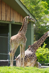 Oly1m2_5168271.jpg (SGIsble (Buried in Photos)) Tags: giraffe clevelandmetroparkszoo africansavanah zoos