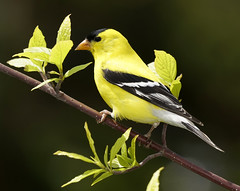 _A992488 (mbisgrove) Tags: bird a99m2 finch a99ii yellow sony sal70400g2 goldfinch gold feathers