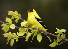_A992559 (mbisgrove) Tags: bird a99m2 finch a99ii yellow sal70400g2 sony