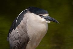 Black-crowned Night Heron (markvcr) Tags: blackcrowned night heron wader bird nature wildlife nightheron