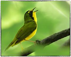 Kentucky Warbler (RKop) Tags: shawneelookout ohio raphaelkopanphotography d500 600mmf4evr 14xtciii nikon