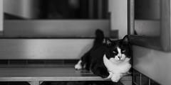 Daily life of HANA (HarQ Photography) Tags: monochrome blackandwhite panasonic lumix s1r sigma art50mmf14dghsm mc21 cat snap animal