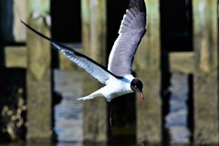 2019.05.18.1964 Laughing Gull II (Brunswick Forge) Tags: fx 2019 jacksonville atlanticbeach jacksonvillebeaches jaxbeaches mayport heron greatblueheron gull laughinggull spring grouped florida bird birds animal animals animalportraits outdoor outdoors day sunny evening afternoon rain wildlife nature nikkor200500mm nikond750 water river