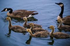 Family Outing in the Rain (Daren Grilley) Tags: rain bird birds duck geese bridgeport valencia santa clarita california lake fuji fujifilm x xt3 10000 xf