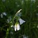 Wild Garlic (Allium ursinum) - Duryard Valley Park, Exeter, Devon - May 2019