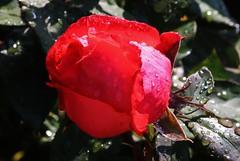 after Rain (Hugo von Schreck) Tags: hugovonschreck rose flower blume blüte macro makro canoneosm50 tamronsp90mmf28divcusdmacro11f017