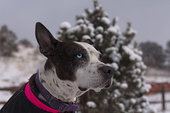 Cleo (Cruzin Canines Photography) Tags: animal animals canon canoneos5ds canon5ds canine 5ds eos5ds dog dogs pet pets pitbull pit pitbullterrier terrier americanpitbullterrier outdoors outside nature naturallight naturepreserve gardenofthegods colorado coloradosprings winter snow cleo cleopitra portrait
