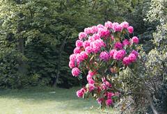 A splash of pink - Jesmond Dene, Newcastle upon Tyne (alisonhalliday) Tags: flowers trees nature pink newcastleupontyne canoneos77d canonefs18135mm
