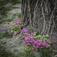 le printemps est à ses pieds (jemazzia) Tags: extérieur exterior esterno outside äubere blackandwhite fleurs flowers bloemen blumen flores fiori arbre tree arvore albero boom arbol baum