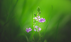 Common Field-speedwell (Dhina A) Tags: sony a7rii ilce7rm2 a7r2 a7r kaleinar mc 100mm f28 kaleinar100mmf28 5n m42 nikonf russian ussr soviet 6blades manualfocus common field speedwell grass flower wild