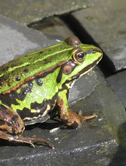 froggy (hussi48) Tags: frog frosch natur closeup