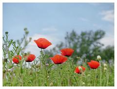 wildflowers-1150643-180519_DxO (Peadingle) Tags: apex park highbridge somerset wild flower meadow close up