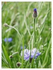 wildflowers-1150612-180519_DxO (Peadingle) Tags: apex park highbridge somerset wild flower meadow close up