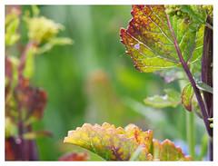 wildflowers-1150608-180519_DxO (Peadingle) Tags: apex park highbridge somerset wild flower meadow close up