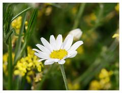 wildflowers-1150601-180519_DxO (Peadingle) Tags: apex park highbridge somerset wild flower meadow close up