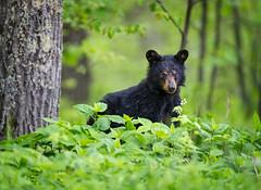 Curious Cub (DTT67) Tags: forest woodland bear blackbear blackbearcub cub 500mmii canon1dxmkii 1dxmkii canon animal mammal nature wildlife