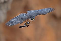 Xena with dinner (knobby6) Tags: peregrinefalcon birdofprey tiercel hawk california blackphoebe nikond5 500mmf4 14x