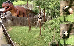 Bei Bei (The dinopaws comin.' The dinopaws comin.' It's ginormous. I seen it from my tree. Keepers!! Ya gotta let me in NOW for my comfort treats 'fore dinopaws eats more than my boo! Larry–shh! Stop sayin' it's only my 'magination.) 2019-05-18@9.30.53 AM (MyFoto:)) Tags: ccncby panda cub endangered vulnerable beibei smithsonian nationalzoo climbing