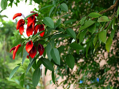 L1330149 Cockspur Coral Tree (Rise Liao) Tags: 花 樹 葉子