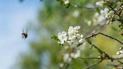 work, work, work.. (Mika Lehtinen) Tags: bee bumblebee macro insect flower pollen polination humla spring green blue