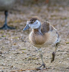 Egyptian Goose chick (safc1965) Tags: egyptian goose squirrel chick wildlife wildfowl