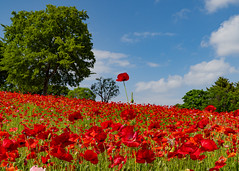 Poppy (yasky0786) Tags: poppy flower red park national ポピー 昭和記念公園 花 赤 国営公園 asiafavorites happyplanet