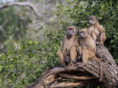 Chacma Baboon (Gerhard Theron) Tags: animals baboonsmonkeyscercopithecidae capebaboon chacmababoon kaapsebobbejaan kwazulunatal mammals mhkuzegamereserve papioursinus primatesprimates southafrica vertebrates kumasingahide large3500px stluciapark