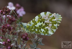 Anthocharis cardamines ( BlezSP) Tags: lepidoptera butterflies mariposas