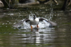 Common Goldeneye 2019-05-19_02 (Jan Thomas Landgren) Tags: bucephalaclangula goldeneye commongoldeneye knipa djur duck ducks divingduck dykand aves animal animals avifauna änder and fåglar fågel fauna flight gothenburg göteborg västergötland sweden sverige nature natur nikon nikond500 tamron tamron150600mm wildlife outdoor outdoors