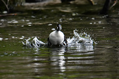 Common Goldeneye 2019-05-19_01 (Jan Thomas Landgren) Tags: bucephalaclangula goldeneye commongoldeneye knipa djur duck ducks divingduck dykand aves animal animals avifauna änder and fåglar fågel fauna flight gothenburg göteborg västergötland sweden sverige nature natur nikon nikond500 tamron tamron150600mm wildlife outdoor outdoors