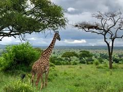 (晒晒太阳不长虫) Tags: tanzania tarangire giraffe safari