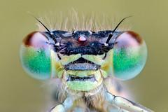 Ischnura elegans (Wojciech Grzanka) Tags: ischnuraelegans bug insect macro 51