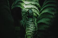 sleeping predator   l   part2   l   2019 (weddelbrooklyn) Tags: natur pflanze pflanzen grün garten 50mm nikon d5200 lichtundschatten licht schatten farn nature plant plants green garden light shadows fern jungle urwald hamburgerfotofreaks predator