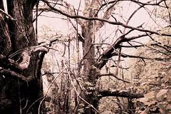 DSC_0056mod1 (pedrop61) Tags: boschi alberi primavera