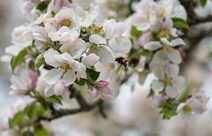 bumblebee (marcuswesterberg) Tags: nikon nikond750 d750 tamron sp 70200 g2 dalarna