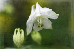 White Beauty (Shastajak) Tags: aquilegiavulgaris columbine mygarden texture 2lilowlstexture sliderssunday hss