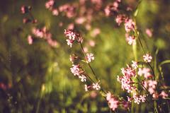 (zedspics) Tags: nature wildflower petals closeup zedspics magyarország hungary hongarije bokeh bokehlicious 1905