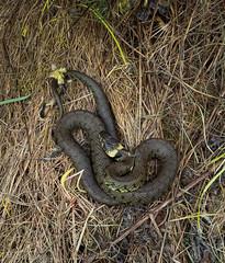 Grass snake -5190002-3 (stevef16G) Tags: reptile snake grasssnake olympus 1240mm em1mk2 derbyshire natrix helvetica