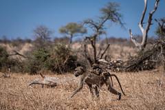 monkey mom (Just_Maze) Tags: africa afrika southafrica südafrika kruger nationalpark monkey ape affe wildlife