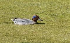 Чирок-свистунок - Anas crecca - Teal (SvetlanaJessy) Tags: природа птицы чирок anascrecca teal