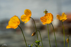 Poppy flower after the rain (AdiStoPhotography) Tags: poppy mac minolta manual flower flowers sonya7m2 rokkor rayqual rogaland tananger minoltamd50mm114