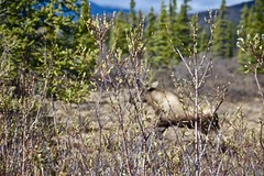 Moose (2) (neukomment) Tags: alaska road nabesnaroad mentastamountains mountains may 2019 spring wiiderness canoneosrebelt5i 18250mmf3563dcosmacrohsm sigmalens