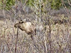 Moose (1) (neukomment) Tags: alaska road nabesnaroad mentastamountains mountains may 2019 spring wiiderness canoneosrebelt5i 18250mmf3563dcosmacrohsm sigmalens
