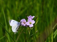 Eglinton Country Park - Female Orange Tip (Gdnross) Tags: cuckooflower butterfly orangetip