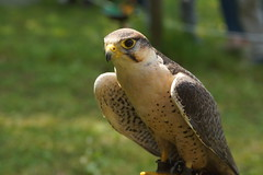 DSC07486 (Marcel Berbers) Tags: mittelaltermarktgrefrath roofvogels birdsofprey