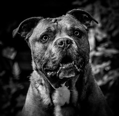 DENS9484-3 (YouOnFoto) Tags: hond dog staffort terrier pet huisdier smile lief sweet bull eng beest beast strong muscles spieren leuk fujifilm xt20 systeemcamera telezoom
