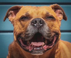 DENS0190-3 (YouOnFoto) Tags: hond dog staffort terrier pet huisdier smile lief sweet bull eng beest beast strong muscles spieren leuk fujifilm xt20 systeemcamera telezoom