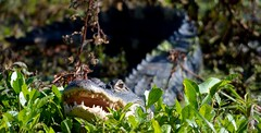 Surprise (Rassilonphotography) Tags: gator alligator swamp marsh florida scary hungry