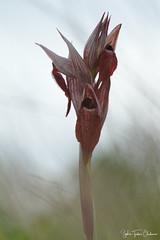 Orchidée Sérapias (Sophie Turlur-Chabanon - Photos) Tags: nikon tamron90 macro macrophoto macrophotographie proxy fleur nature floraison printemps orchidée