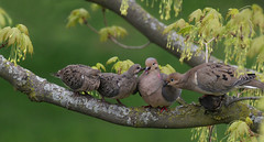Mourning Dove Family (Doris Burfind) Tags: spring nature wildlife bird family mourningdove fledglings animal tree outdoor portrait wolflane